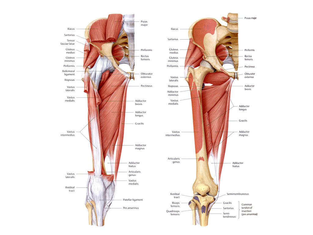 Anterior Hip Muscles Clicking Hips Pain