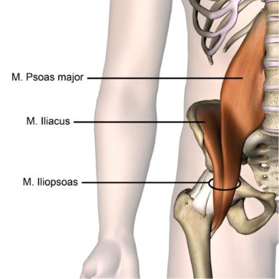 Anatomy Hip Psoas Major Iliacus Ballet Blog
